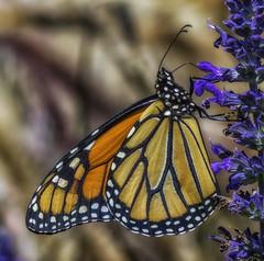 Monarch_SAF2053 (sara97) Tags: danausplexippus butterfly flyinginsect insect missouri monarch monarchbutterfly nature outdoors photobysaraannefinke pollinator saintlouis towergrovepark copyright2016saraannefinke