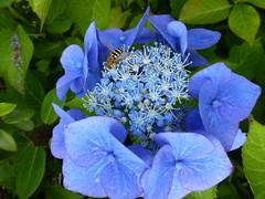 Blue Hydrangea Flowers ! (Mara 1) Tags: summer garden flowers plant bush hydrangea petals cluster green leaves outdoors sunny shade shadows
