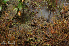 Limnodynastes fletcheri (benrevell86) Tags: limnodynastes limnodynastesfletcheri barkingfrog australianfrogs frogs