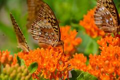 Great Spangled Fritillary Butterfly on Orange Milkweed (av8s) Tags: orangemilkweed milkweed butterfly wildlife nature photography nikon d7100 sigma 120400mm nescopeckstatepark pennsylvania pa flower