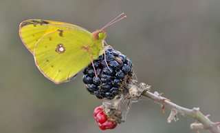 Clouded Yellow (Colias croceus).