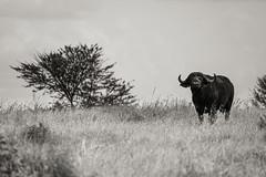 Schwarzbüffel (zanettifoto) Tags: nachmittag serengetinationalpark steppe wolkenhimmel schwarzweissfotografie tansania fruehling kleinsgate mara tza schwarzbüffel