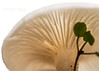 Molecular Disassembler (Prab Bhatia Photography) Tags: macro macromonday macromondaybacklit backlit mushroom closeup compost nature wild fungi
