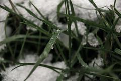 Nights in white satin (Birdiebirdbrain) Tags: naturfoto naturephotography nature natur autumn fall snow straws drops grass nikond3300 nikon tamron18270mm tamron