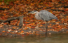 Blue heron (bakosmike) Tags: nikon d300 300mmf4 whitbyont blue heron fish eating
