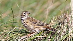 Meadow Pipit (NickWakeling) Tags: meadowpipit salthouse norfolk nature northnorfolk sigma150600mmf563dgoshsmcontemporary canon60d birds wildlife