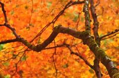 Autumn Arboretum (Matthew David C) Tags: colour tree autumn beautiful beauty woods woodland red orange sunshine light sunlight park arboretum westonbirt flickrfriday outdoor plant leaf foliage autumnleaves