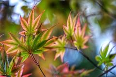 Autumn Colors - Japanese Maple Leaves (JPShen) Tags: colors autumn fall leaf maple japanese windy bokeh