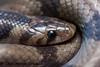 DSC_1769 (Chaitanya Shukla) Tags: 201610waghapur1sttrip bandedkukri colubridae maharashtra oligodonarnensis pune reptilesandamphibiansofindia saswad saswad2016101sttrip snakesofindia typicalsnakes waghapur