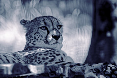 GUEP'BLACK-EL PADRE picture (thierrymuller) Tags: animal animaux animals elpadrepicture thierrymuller tamron photo photographie d90 france french frenchtouch mamanano monochrome bw blackwhite noirblanc noiretblanc nikonpassion nikon nature guepard fauve cheetah blackandwhite animales tiere animais