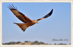 MILANO REAL - EJEMPLAR JOVEN (Milvus milvus) (JORGE AMAYA BUSTAMANTE - JAKKEMATE) Tags: jakkemate jorge amaya bustamante nikon d500 sigma 150500 birds milano real milvus rapaces ibericas wildlife photonature aves peninsula iberica kite red