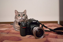 -  , ,  ? (lisrezoly) Tags: cat  graycat photographer camera nikon canon