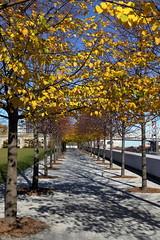 Autumn Leaves 2 (Four Freedoms Park/NYC) (chedpics) Tags: newyork rooseveltisland fourfreedomspark lindentree
