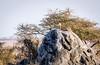 Cheetah on Granite (David Ramirez Photography) Tags: cheetah kopje africa tanzania scenic northernserengeti serengeti