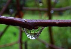 Gota. Drop 64. Chaenomeles speciosa. (bego vega) Tags: gota drop droplets agua water rain lluvia jardn garden reflejos reflections rama macro madrid vf bego vega bv chaenomeles speciosa membrillero