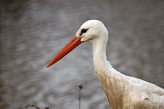 White Stork Profile