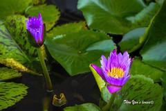 Lotus (Pic_Joy) Tags: singapore asia artsciencemuseum marinabay marinabaysands lotus flower bee