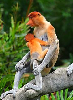 mother&baby Proboscis Monkey Nasalis larvatus_Labuk, Borneo