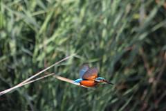 Alcedo atthis (m) (Andrea Lugli) Tags: bird canon martin sigma os kingfisher dg pescatore uccello hsm 60d 150500