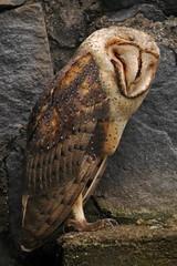 Tyto alba DT [I Parque Condor] (4a) (Archivo Murcilago Blanco) Tags: alba strigiformes lechuza tyto tytonidae tirira diegotirira archivomurcielagoblanco