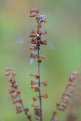 Enallagma cyathigerum (Yvan Barbier) Tags: insectes odonata insecta enallagmacyathigerum coenagrionidae enallagmasp odonates agrionportecoupe libellulesetdemoiselles