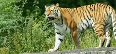 Amur Tiger (Annette Rumbelow) Tags: park tiger safari wilson endangered siberian wiltshire captive longleat siberiantiger annette bigcats carnivore amur rumbelow