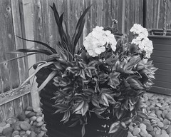 Geranium and Wandering Jew in Beerol (bac1967) Tags: camera red bw white black flower film beer analog fence lens rocks with graphic c large delta pot filter rainier jew 4x5 crown format 100 soda geranium developed sodium development ilford washing wandering lager graflex 135mm develop vitamin carbonate caffenol optar f47 beerol beerenol