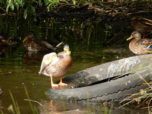 Mallards at Mugdock Park -- photo 4