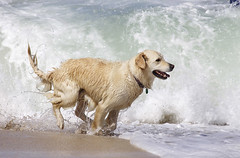 Dog enjoying the surf at Portheras Cove (Rich Saunders) Tags: sea summer dog sun beach fun seaside sand cornwall surf waves paddle sunny canine running spray shore enjoy westcountry dogrunning wetdog portherascove