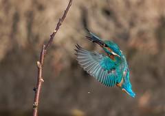 Kingy (s.jonesphotography) Tags: uk england bird birds wildlife yorkshire flight kingfisher