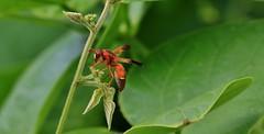 Potter Wasp - Male   (Rhynchium oculatum) (nick.linda) Tags: spain insects wasps flyinginsects potterwasp rhynchiumoculatum