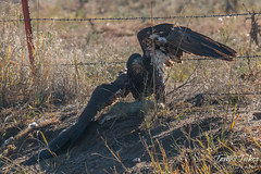 Juvenile Bald Eagle crosses a barbed wire fence