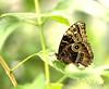 Divers JVA_0419_20_21_tonemapped (mrjean.eu) Tags: sara sp atlas demi insectes attacus papillons heliconiinae deuil heliconius phaetusa dryatula
