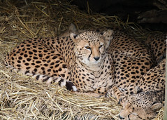 Leopards (Bryn Floyd) Tags: zoo meerkat lion chester rhino
