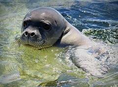 Curious Monk Seal (@ Pam Cahill) Tags: ocean hawaii seal monkseal