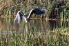 Grey Heron, Morton Lochs