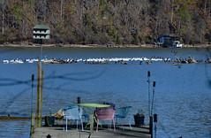 Off the Dock (BKHagar *Kim*) Tags: pelicans water birds river al dock backyard alabama pelican athens migration waterfowl feathered elkriver bkhagar