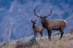 The Guardian (craig goettsch) Tags: nature nikon wildlife ngc bull antlers npc d750 elk rmnp2015