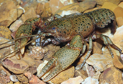 freckled crayfish (Cambarus maculates) (Michael Cravens) Tags: missouri crayfish endemic freckled cambarus maculates