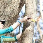 A student measures the circumference of a tree.