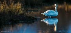 Sunset Swan ! (Richard W2008) Tags: sunset scotland muteswan cygnusolor scottishwildlifetrust cathkinmarsh