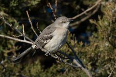 """Northern Mockingbird"" (Jesse_in_CT) Tags: northernmockingbird tamron150600mm"