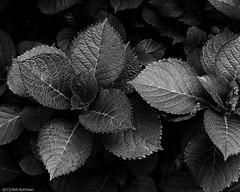 Leaves (Rob Bultman) Tags: f11 xtol11 ilfordfp4 80mmf19 mamiya645pro