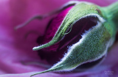 Rose Bud (corinnerutherford) Tags: macro nature rose canon rosebud modified floweres