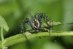 Chiang Mai area Oxyopidae (Phil Arachno) Tags: philarachno spider arachnida spinnen arthropoda araneae chelicerata oxyopidae chiangmai thailand tha luchsspinne