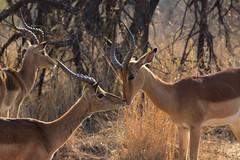 Zusammenhalt (felipeepu) Tags: africa south safari afrika impala herde