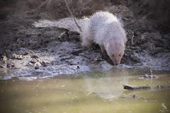 Indian Grey Mongoose (Abhishek T) Tags: indian grey mongoose mammals nature wildlife animals