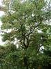 Liquidambar (wallygrom) Tags: england angmering honeylane treehouse