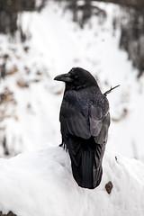 Raven (Alberta Parks) Tags: bird raven animal wildlife vertebrate corvid winter snow ice