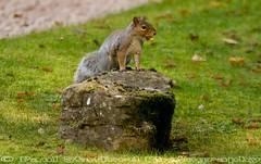 My Acorn (STAFF.PAUL) Tags: squirrel acorn outside canon canon7d sigma sigma70200 worcestershirewildlifetrust thisphotorocks nationalgeographicwildlife animalplanet